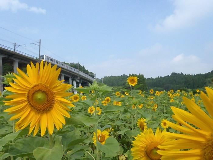 大網白里市では、陸橋を通る電車とひまわりの織り成す風景を楽しむことができます。毎年「ひまわりの里山辺実行委員会」が栽培しているひまわり畑では1ヘクタールの畑に5万本のひまわりの花が咲き、多くの人を楽しませています。