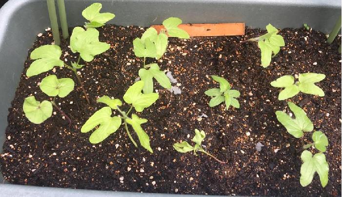種をまいてから12日ほどで、本葉が出始めました。