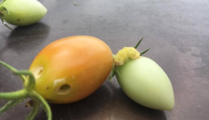 オオタバコガと近縁種のタバコガは、成虫になると翅(はね)の色から見分けることができますが、幼虫の時はそれぞれに個体差があるため、オオタバコガなのか、タバコガなのか、どちらかを見分けることは難しいようです。  名前の通り成虫になると、タバコガよりもオオタバコガの方が体長は大きいですが、食害を受ける幼虫時の大きさや色にこれといって差はあまりないようです。  若齢幼虫は、新芽やつぼみを食害します。成長すると果実に穴をあけ食害します。  次々と食害を続け、実から実を渡り歩くため、たった1匹のオオタバコガやタバコガがいるだけで、せっかく実ったトマト・ミニトマトなどの野菜の果実がたくさん被害を受けます。  オオタバコガやタバコガは、寄生したトマト・ミニトマトなどの作物の新芽や花蕾(からい)に1粒づつ産卵していきます。雌1匹あたり、オオタバコガでは1000~2000個、タバコガでは500~600個ほどの卵を産むことも可能ともいわれており、とても繁殖力の強い害虫です。  幼虫は土の中で蛹(さなぎ)になり越冬し、翌年の6月以降に蛾となり、寄生する植物に卵を産み付け繁殖していきます。