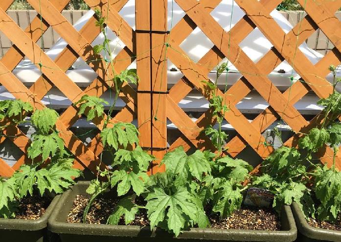 ゴーヤについての摘芯時期は様々です。本葉5~6枚のころ親づるを摘芯して、子づるをどんどん伸ばしていく方法もあれば、親づると子づる2本を伸ばして3本仕立てにする方法もあります。旺盛に伸びていくゴーヤですので、実際放任状態で育ててもゴーヤは育ってくれます。  今回のプランター栽培では、本葉5~6枚のころ親づるを摘芯して、子づるをどんどん伸ばしていく方法を採用しました。