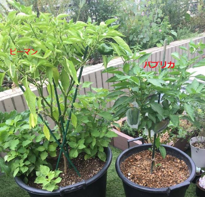 パプリカの根が大きく張ることができるように、プランターはある程度土の量が多く入るものを用意しましょう。  植物も人間と同じで、器によって実る大きさも量も違います。ベランダの広さに合う、無理のないプランターを選びましょう。  ちなみに上の画像は、同じ時期に植えたピーマンとパプリカです。プランターや土量の違いで、生育にこのような差が付きますので、プランターを選ぶ時の参考にしてみて下さいね。