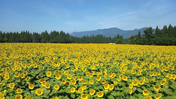 新潟県津南町の津南ひまわり広場は期間限定で開園するひまわり畑です。開園期間に開花するよう時期を計算されて栽培された50万本ものひまわりが出迎えてくれます。開園期間中には、ライトアップやひまわりウェディング、迷路など美しい花を楽しめるイベントがたくさん!