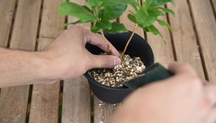 コーヒーの木(コーヒーノキ)の植え替えなどの管理方法と増やし方(株分け)