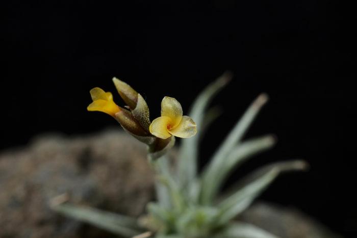 ロリアセアは黄色の三弁花を咲かせます。芳香があると言われていますが、個体差があるのか筆者の株では臭いを感じることは出来ませんでした。