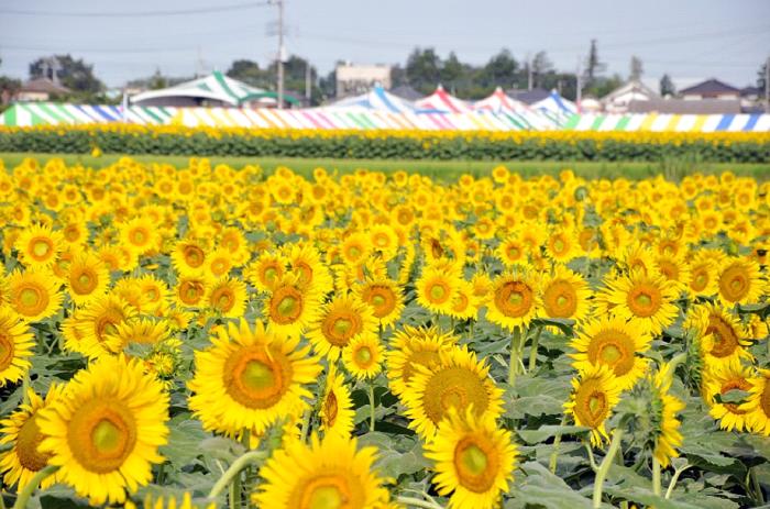 栃木県野木町の一大イベント、ひまわりフェスティバル。ハイブリットサンフラワー、キッズスマイル、グッドスマイル、ゴッホといった品種の20万本ものひまわりの花が出迎えてくれます。会場内に設置された見晴台からはひまわり畑を一望できるそうで、おすすめのビューポイントです。また模擬店やイベント内容が充実していて、家族でじっくり楽しむことができるフェスティバルとなっています。    ▼見ごろは7月下旬。
