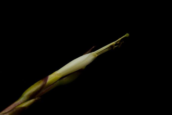 ウトリクラータ・プリングレイは花序を長く伸ばし淡い黄色~クリーム色の花を咲かせます。