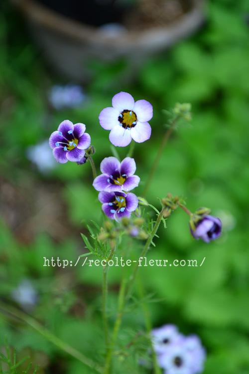 ギリア・トリコロール  英名でBird's eyesという名前もあります。鳥の目玉みたいだからでしょうか。花姿がとてもかわいい草花です。ゆらゆらと咲く姿は繊細そうですが、性質はとても強く、環境があえばこぼれ種でも発芽します。種まきは9月~10月です。