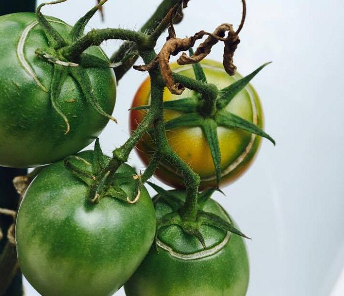 トマトの実が裂けた状態のことを裂果(れっか)といいます。裂けた方向によって呼び名が変わります。  同心円状裂果(どうしんえんじょうれっか) 環状裂果(かんじょうれっか) 下の画像のように、トマトのヘタの周りをぐるっと円を描くように裂けてしまった状態のことを、同心円状裂果(どうしんえんじょうれっか)又は環状裂果(かんじょうれっか)といいます。