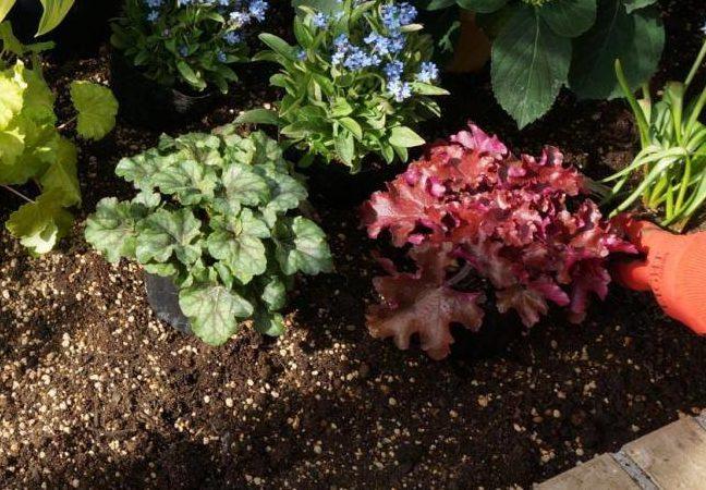 ヒューケラはツボサンゴとも呼ばれているカラーリーフプランツで、たくさんの葉色や葉模様があります。そのため寄せ植えや花壇に植え込むのに人気があります。  葉だけでなく花も美しく、長く伸ばした花茎に釣鐘型の可愛らしい花を咲かしてくれます。暗い雰囲気になりやすい日陰の庭に華を添えてくれますよ。