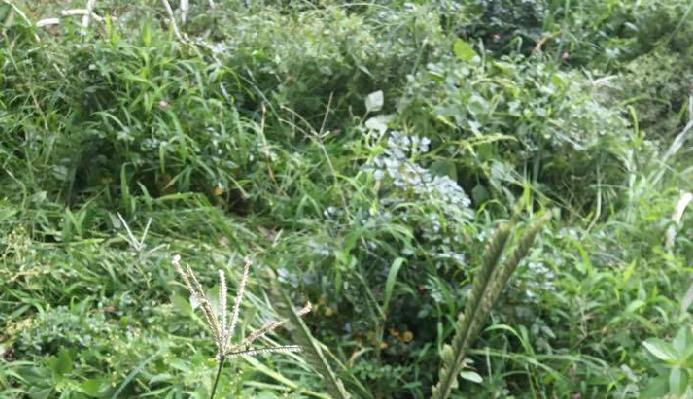 草むらに生息するために、畑の外側に草むらがあると大発生しやすい傾向があります。  家庭菜園でも、雑草が生い茂っているところは、この機会に綺麗に除草して、お庭をすっきりさせましょう。