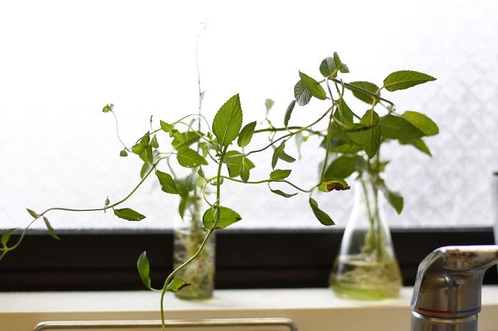 ミントは、環境が合うとどんどん増えていきます。水栽培で発根しやすく、スッキリした香りでキッチンを爽やかにしてくれそうです。