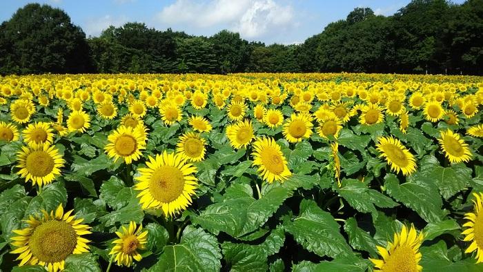 栃木県河内郡上三川町では、約3ヘクタールの広大な畑にハイブリッドサンフラワーが咲き誇ります。3日間の多彩なステージイベントに加え、「ひまわり大迷路」や「ポニー乗馬」、「かんぴょうむき体験」、「子ども用大型プール」など盛りだくさんです。