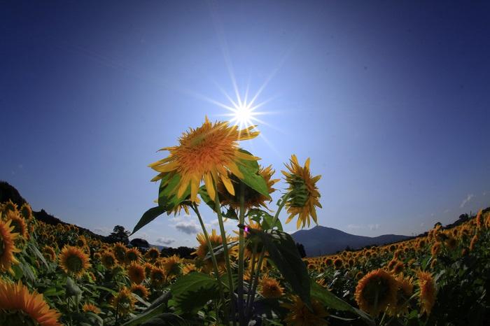 筑波山をバックにした4ヘクタール超の田畑に八重ひまわり100万本が咲き誇ります。お好きなひまわりを持ち帰ることができる「切り花園」も開設します。 また、初日(8月26日)の18時からは、夜のひまわり畑をキャンドルが照らし出す「ひまわりキャンドルナイト」を開催します。