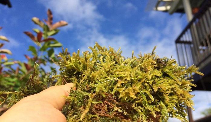 ハイゴケは苔の中でもメジャーな品種で、非常に育てやすいと言われている苔です。  テラリウムや苔玉などによく使われています。  霧吹きなどで乾燥しないよう定期的に水やりをしてください。