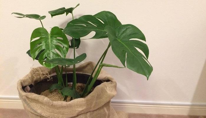 サトイモ科の植物であるモンステラは大きな葉に切れ込みがきれいです。南国のイメージがあり観葉植物でも人気。茎と葉が横に広がるので大きい鉢を置く場合は広いスペースが必要になりますが、収納や棚の上に置く場合は小さい鉢でも、葉が広がるので寂しくありません。モンステラの茎葉は、切ると白い液体が出てきます。「シュウ酸カルシウム」といい、目に入ったりすると危険です。素手で触ると手がかぶれてしまう場合があります。また、犬や猫などペットがかじったりしないように注意が必要です。