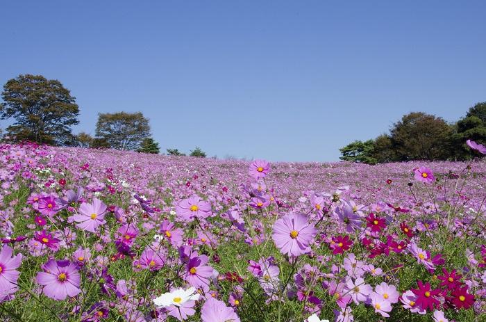 画像提供:国営昭和記念公園  首都圏最大級数550万本のコスモスが楽しめる昭和記念公園の「コスモスまつり2017」。  園内で観賞できるコスモス畑は3カ所。都内最大のコスモス畑、花の丘斜面を埋め尽くすピンク色の「ドワーフセンセーション」は必見です。さらに、原っぱ東花畑では「キバナコスモス」70万本、西花畑では「イエローキャンパス」など80万本が楽しめます。