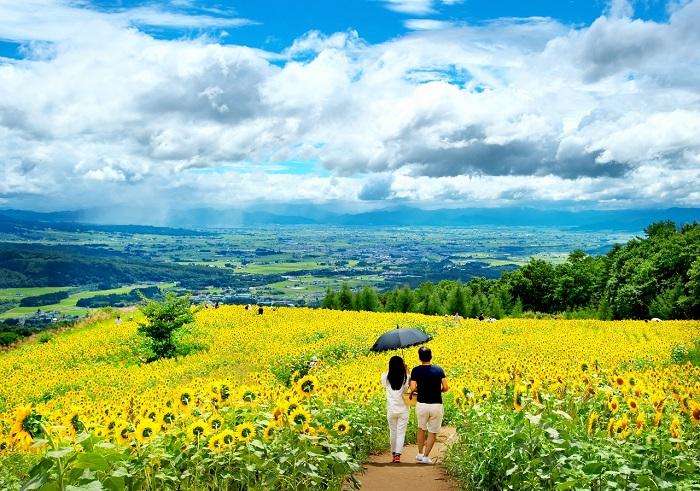 福島県喜多方市の三ノ倉高原では、総面積8.35ヘクタール、250万本の東北最大となるひまわり畑をご覧いただけます。三ノ倉高原は一面のひまわりだけでなく、会津盆地も一望できる最高のロケーションです。
