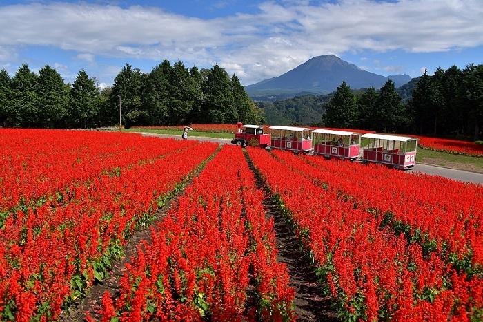 画像提供:とっとり花回廊  とっとり花回廊は、なんと東京ドーム約11個分にもなる広大な敷地を持つフラワーパークです。フラワードームと呼ばれる巨大なガラス温室を中心に、季節ごとに色を変える広大な花畑である「花の丘」、オランダの有名な公園「キューケンホフ公園」の園長自らデザインした花壇の並ぶ「花の谷」、一つ一つの施設がとても充実しています。しかも、1周1kmの屋根付き展望回廊があるので、雨の日でも傘をささずに園内を楽しむことができます。