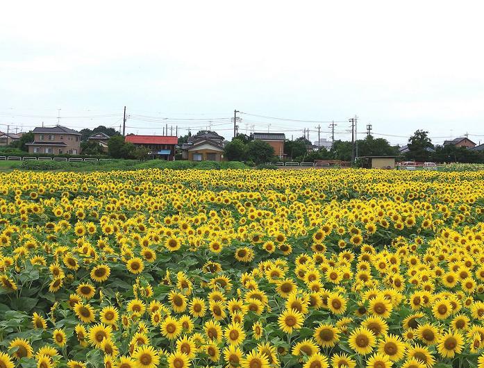 埼玉県の蓮田市根金に5万本のひまわり畑が登場します!  8月6日はイベントを行います。子供広場での音楽バンド、紙風船、シャボン玉、水鉄砲など子供たちも遊べます。