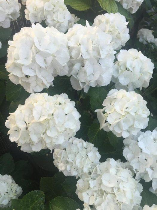今回はボリュームのある白のハイドランジア(西洋アジサイ)。
