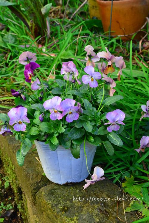 最近は秋早くからビオラの苗が出回り始めます。苗を購入する場合は、ヒョロヒョロと徒長していない、葉っぱがきれいな緑色のビオラの苗を選んでください。弱っている苗は、日光不足で徒長していたり、葉っぱが黄色くなったりします。たくさんの苗を見比べて丈夫なビオラを選んでください。