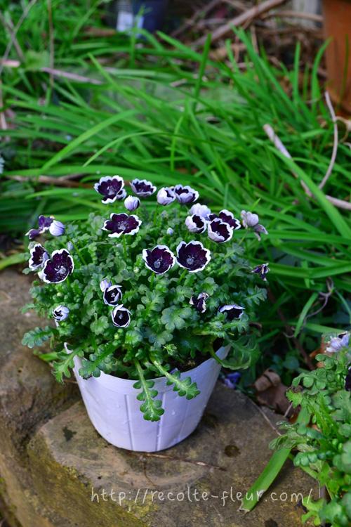ネモフィラ・ペニーブラック  ネモフィラの開花時期は、3~5月です。ネモフィラの苗は、お正月を過ぎた頃から少しずつ出回り始め、4月ごろまで購入可能です。ネモフィラの苗を選ぶ場合、葉の緑色がみずみずしく、徒長していない茎がしっかりとしているものを選びます。移植を嫌うので、ポット苗の時点でたくさん花が咲いているよりは、若い苗のうちに購入した方が長く楽しめます。