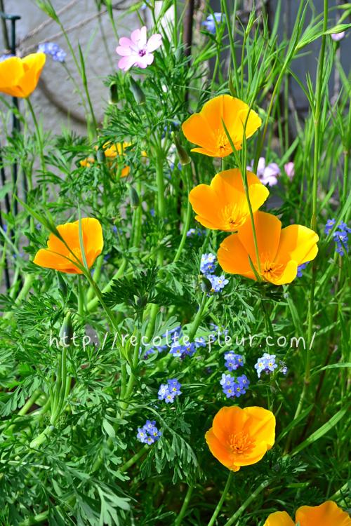 花菱草、別名・カリフォルニアポピー  ポピーと同じケシ科の花ですが、花の形は、ポピーとはまったく違う花姿。花色は、定番のオレンジの他、クリーム色、アイボリー、アプリコット、赤、ピンクなど年々新品種がでてきています。  一重の他、八重咲き種もあります。花菱草はお日様とともに花が開き、夜は花が閉じます。晴れた日にキラキラした花びらがお日様に向かって咲く花姿はとても見事です。広い空間の花畑などにも使われることがあります。種まきは9月~10月です。