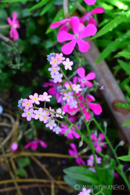 勿忘草(ワスレナグサ)は、種か苗で購入します。