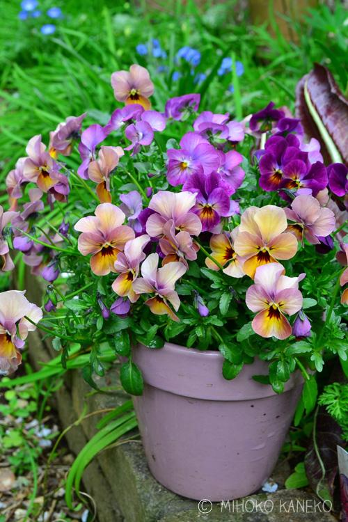 春暖かくなると・・・続々と咲いてきます。その分、花がら摘みは忙しくなります。