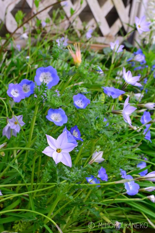 ネモフィラの水やり、肥料、病害虫、花ガラ摘み