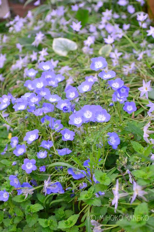 ネモフィラは、終った花、花がらをまめに摘み取ると、花の開花数や花の開花期間に差が出ます。広いスペースでは無理かもしれませんが、プランターなどに植えこんで手の届く状態のネモフィラは、花がら摘みをすることをおすすめします。