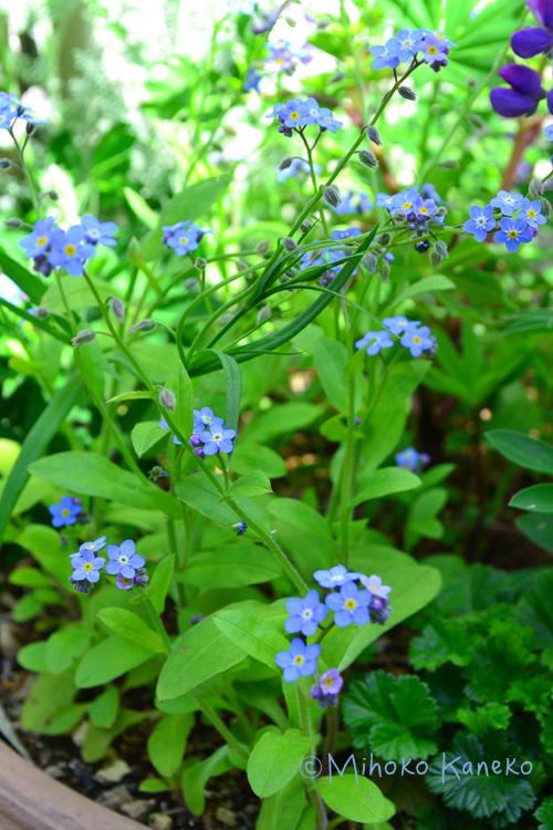忘れな草は、とても性質が強いので、環境が合うと、こぼれ種でも発芽する可能性があります。