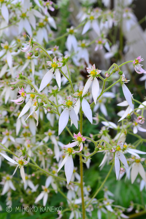 ユキノシタ(雪の下)は、花の時期以外は地を這うように葉っぱが存在しますが、4月~5月に株元から細い花茎を出し開花します。