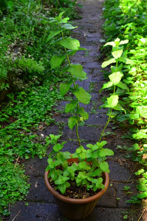 どんどん伸びて7月ごろ花が咲きます。写真は2本だけ切り戻さないでおいたミント。ミントの葉を使うために育てている方は、定期的に剪定をして、花を咲かせないようにするのがポイントです。
