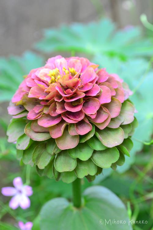 いかがでしたか?うどん粉病は、梅雨と秋の長雨の時に出やすいので、葉っぱをよくチェックして、おかしい時は早めに対処するといいですね!ジニアは、11月くらいまで咲き続ける草花です。秋口になると、シックな色合いの品種が出回りますので、探してみてはいかがでしょうか。
