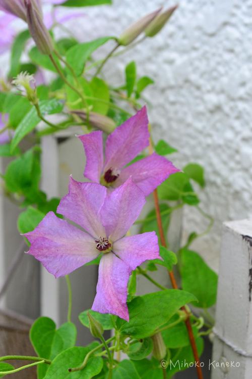 ジャックマニー系のクレマチス「マーガレットハント」今年2回目の開花です。1回目の開花が初夏、それを剪定すると、2回目の開花は8月ごろです。このマーガレットハントは、暑さに負けず、夏場もよく咲いてくれるのですが、一般的に夏場のクレマチスは、花が小さくて花の色は春や秋に咲く色より少し赤みが増しています。