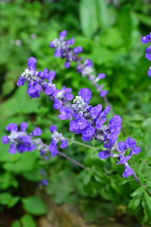 ブルーサルビア  品種によって差はありますが、ほとんどのサルビアは半年近く開花する草花ですが、夏の暑い間も咲かせ続けると株が疲れて秋に弱り気味になるときがあります。普通の育て方をしていても十分たくさんの花は楽しめますが、あえて8月ごろに切り戻しをすると、切ったところから脇芽ができて茎数の多い株姿になり、秋に美しく帰り咲きます。