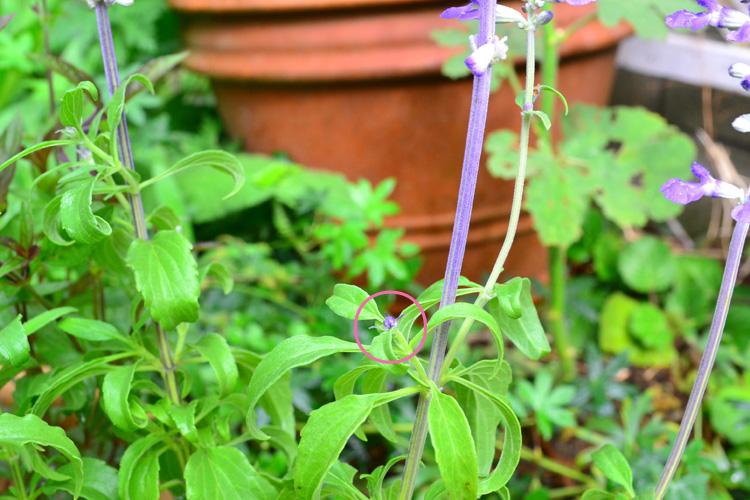 サルビアの次の花の芽は、今、咲いている花の両脇につきます。(〇印の部分)終わった花ガラをまめに取り去って、次の花にエネルギーが回るようにします。
