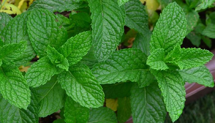 たくさんある品種の中で、ミントティーなどに使う一般的なミントと言えば、「ペパーミント」と「スペアミント」です。野菜売り場に売っているミントは、このどちらかであることが一般的です。2つのミントでも葉っぱの色や香りに違いがありますので、できたら自分の鼻でどちらが好きか嗅いでみて購入してみていただけたらと思います。