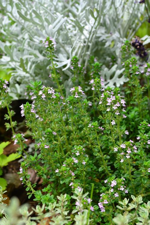 こちらの咲き方の方がタイムの一般的な咲き方です。タイムの花色は、白やピンク系が多いです。
