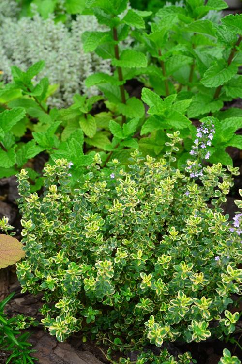こちらは斑入りの葉がかわいらしいタイム。  タイムは緑の葉をはじめ、写真のような黄色っぽい斑入りや白っぽい斑入りなど、葉の色もとても豊富です。ほふく性タイプのタイムは花壇の縁取りにもなるので、植えてある花にあわせて葉の色を選ぶのも楽しいですね。