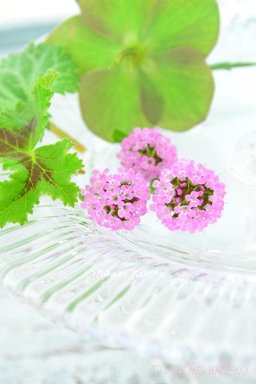今年の春、ボール状の花がかわいいなと思って買ったタイム。残念ながら品種は不明でした。