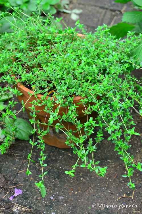 タイムの育て方は品種による違いはなく同じです。タイムは鉢植えでも地植えでも栽培可能です。  タイムは常緑の植物なので、比較的、長期間にわたり購入することができるハーブです。店頭で花と葉っぱの色を見つつ、香りを嗅ぎながら自分の好みの香りで選ぶのも楽しい時間です。  タイムの香りを確認したい時は、鼻を近づけるより手で軽く葉っぱをさすると香りがしやすいです。  こだわったハーブのタイムを探している方は、ハーブ園やハーブショップ、通信販売でたくさんのタイムの品種を扱っているお店から買うのもよいでしょう。  タイムの植え付けは真冬と真夏以外の環境がよい時なら可能です。タイムは性質がとても強く、病虫害もほとんどないので、いったん根付けば世話要らず。ただ、湿気に弱いので株元が蒸れたらバッサリと切り戻しましょう。その他の剪定は、花の後、冬前に切り戻します。