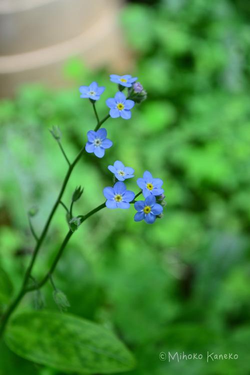 9月後半~10月が勿忘草(ワスレナグサ)の種まきの季節です。(寒冷地は春に種を蒔きます。)  種まき前に、一晩(半日程度)、種を水につけて吸水させてから種まきをすると、発芽率がよくなります。  勿忘草(ワスレナグサ)の種まきは、庭や花壇に直まきか、たくさんの苗が欲しい場合は、ポット苗に数粒ずつ種まきをするのが一般的です。  勿忘草(ワスレナグサ)の種は、嫌光性種子なので、種を蒔いたら必ず土をかけましょう。嫌光性とは、発芽に光を必要としない性質です。種を蒔いたら必ず土かけて光を遮ることが必要です。
