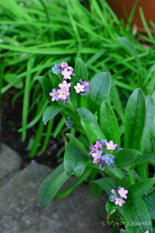 勿忘草(ワスレナグサ)の栽培環境 勿忘草(ワスレナグサ)は日当たりが良くて風通しがよい場所が好みです。できれば日当たりがいい場所がよいですが、花が咲き始めている苗であれば、明るめの半日陰くらいでも栽培可能です。