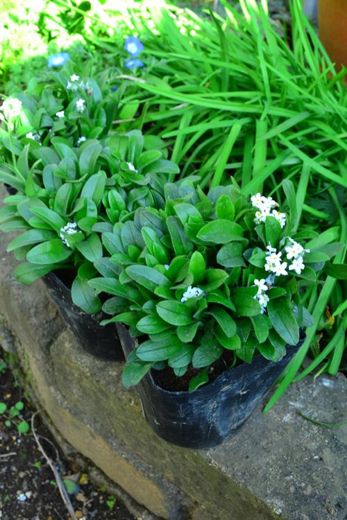 葉っぱが生き生きとした緑色で、花がこれからの若い苗がおすすめです。  勿忘草(ワスレナグサ)の苗の選び方は、たくさん花が咲いている苗より、一番花が咲き始めているような若い苗を早めに植え付けた方が根が張るので、たくさんの花が楽しめます。  勿忘草(ワスレナグサ)の苗は年明けあたりから徐々に出回りはじめます。ブルーの他、白やピンクもあります。
