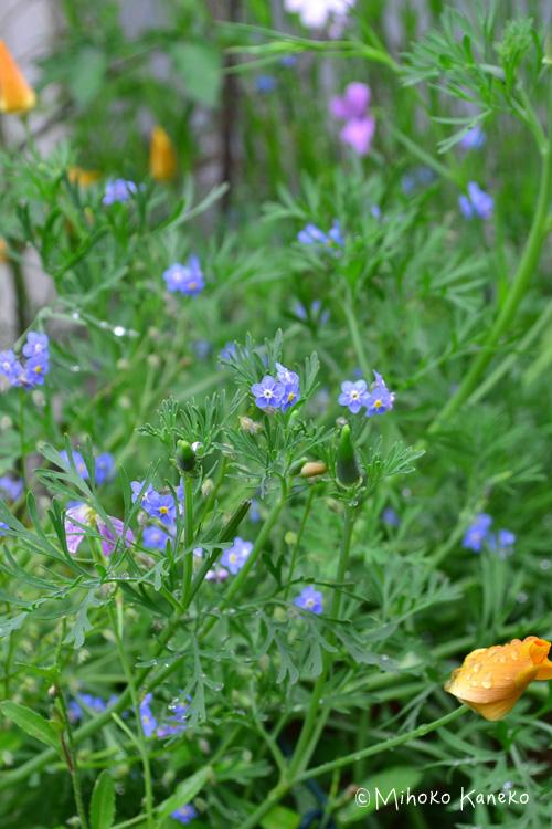 同じ季節に咲く花、花菱草と勿忘草(ワスレナグサ)。  勿忘草(ワスレナグサ)は小ぶりで主役級の草花ではありませんが、多種類の草花の寄せ植えにもとても重宝です。  シーズンの終わりごろの勿忘草(ワスレナグサ)は丈が伸びてきます。抜き取る直前に生けて楽しむこともできます。