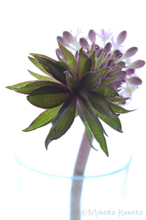 パイナップルリリー(ユーコミス)の苞葉
