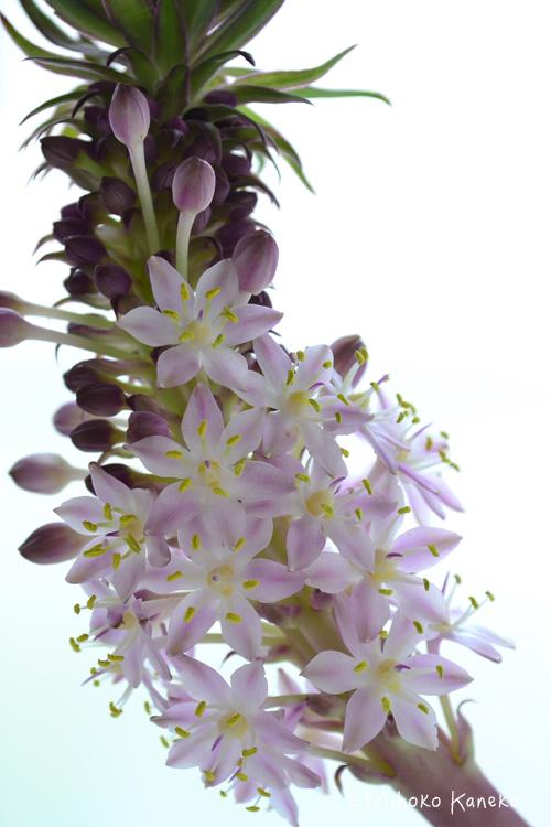 パイナップルリリーは独特なフォルムが素敵で、最近切り花としてもとっても人気です。パイナップルリリー(ユーコミス)の開花時期は7~8月ですが、切り花としての出回りも初夏のころから夏の間、出回っています。