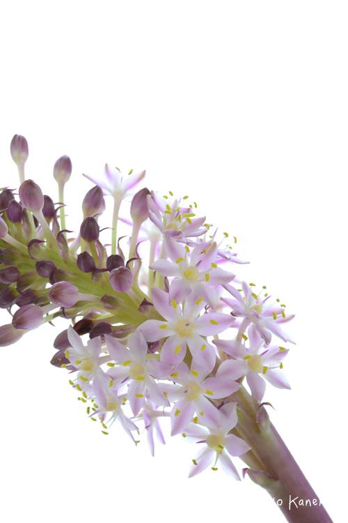 穂状の花が下の方から開いてきます。ひとつひとつの花もかわいいです。